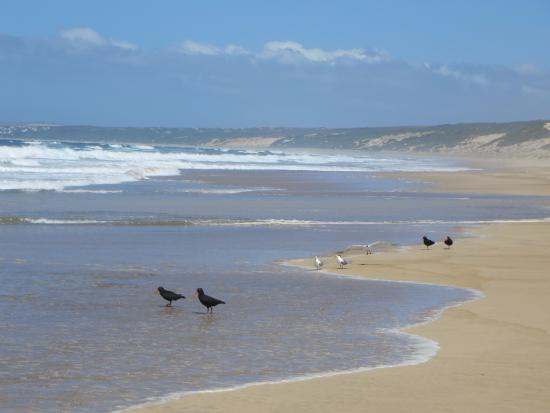 Sandpiper Guest Cottages and The Oystercatcher Trail : OYSTER CATCHERS