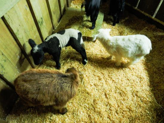 Grumpy's Transfers & Tours: you can hold baby lambs after the show