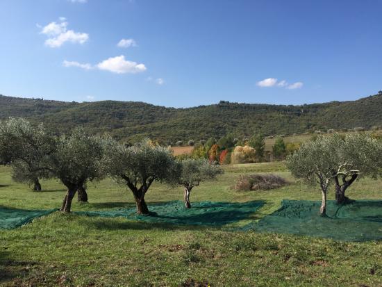 Tavernelle di Panicale, Ιταλία: Raccolta di olive ai Casali di Colle San Paolo