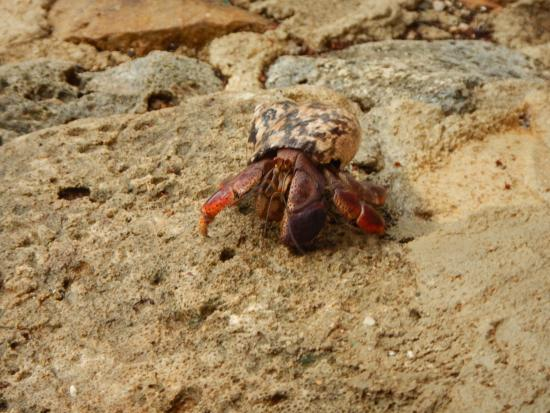 Auriga Ecolodge: Visit from a hermit crab