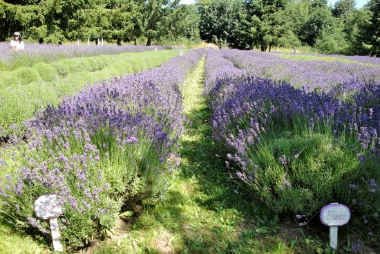 ‪Martha Lane Lavender Farm‬