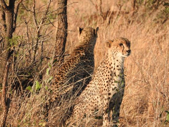 Camp Shawu : Cheetah on the other side of the watering hole