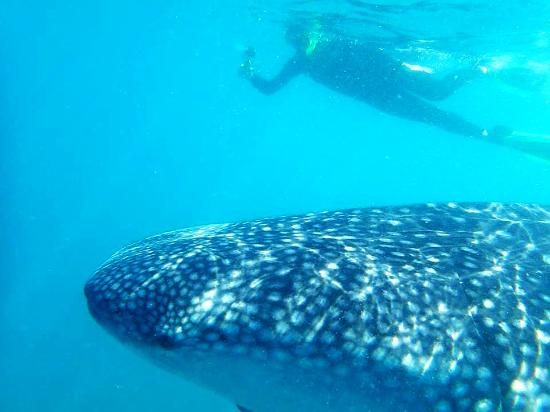 Whale Shark Boat Tours : Swim with Whale Sharks in La Paz, Mexico.
