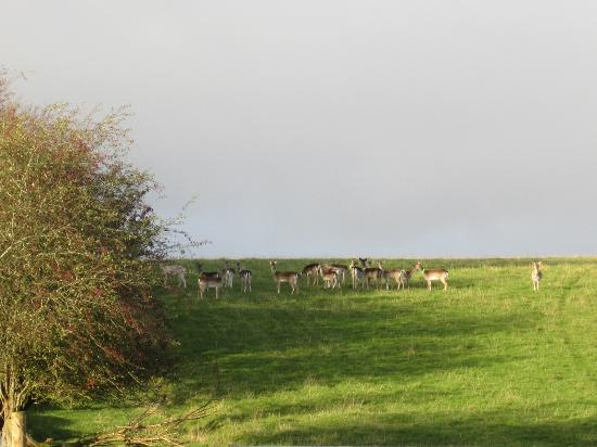Riverstown, İrlanda: Herd of deer raised for venison