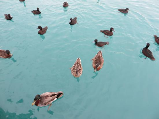 Twizel, Nueva Zelanda: duck feeding