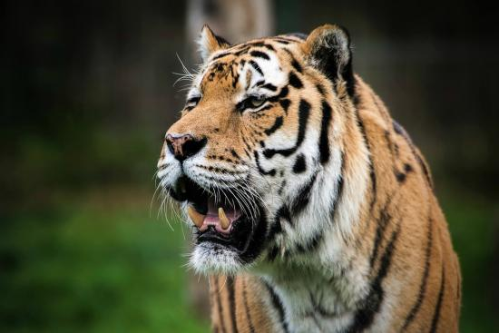 Blackpool, UK: Zambar, Amur tiger