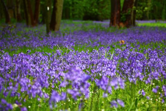Sywell, UK: Beautiful Bluebells