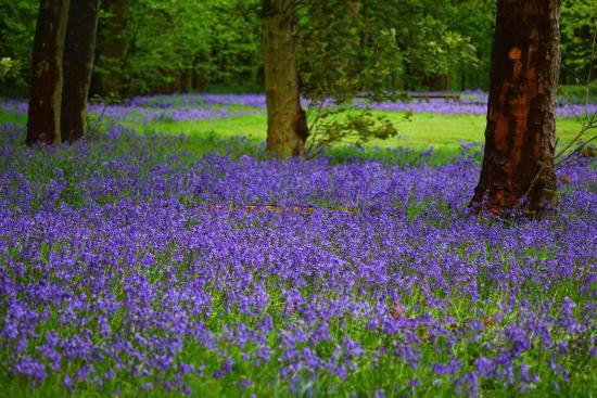 Sywell, UK: Bluebell Woods