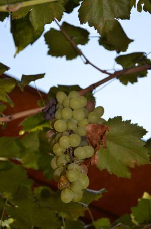 Lazer Pension: Grapes in Lazers garden