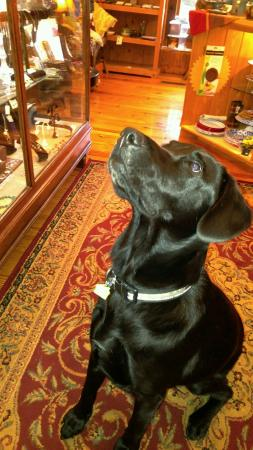 Gordy the sweet & shy, black lab shop dog, here at Sundance Gallery in Blairsville, GA.
