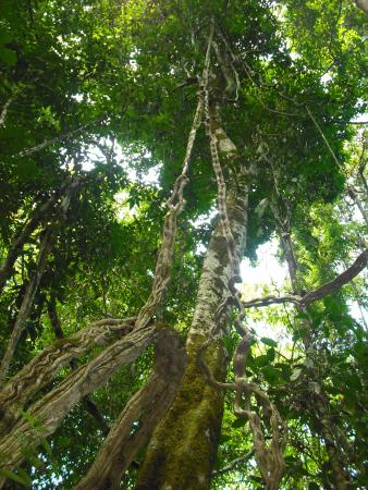 "El Remanso Lodge: Tall trees and vines or ""monkey ladders"""