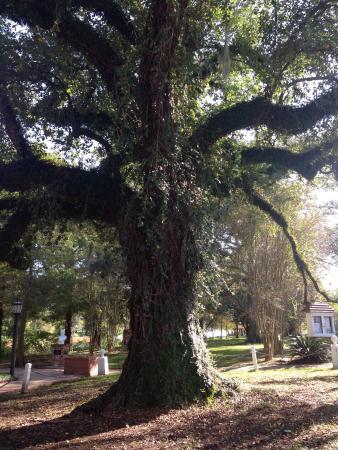 Evangeline Oak: photo1.jpg