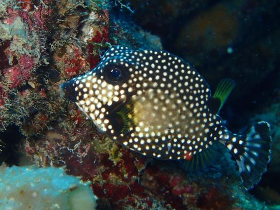 Jupiter, FL: Spotted Trunk Fish