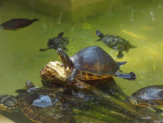 Flamingo Gardens turtle photo by Ricky Hanson