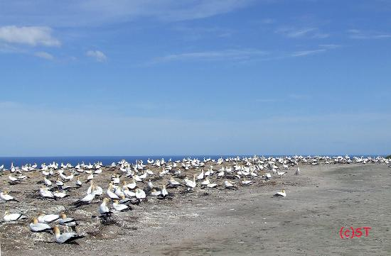 Awesome Gannet Colony at the cliff top
