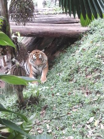 Awesome tiger  Picture of Melaka Zoo and Night Safari Ayer Keroh