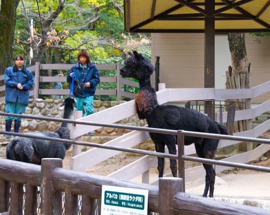 Satsukiyama Zoo: alpacas