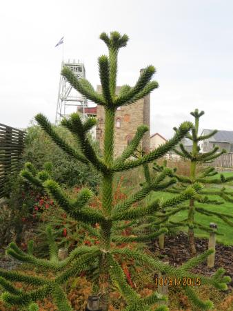 St Austell, UK: Monkey Puzzle Tree, Heartland Mining Center gardens