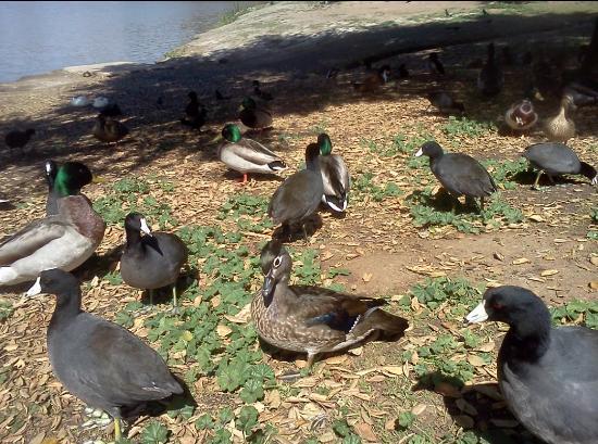 Lakeside, كاليفورنيا: Coots and Mallards