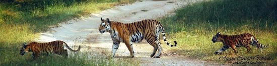 Seoni District, อินเดีย: Female tiger with her two cobs