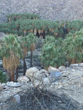 Palm Canyon: Cool trees