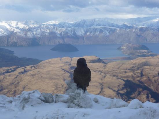 Alpinism & Ski Wanaka: Kia - a bird