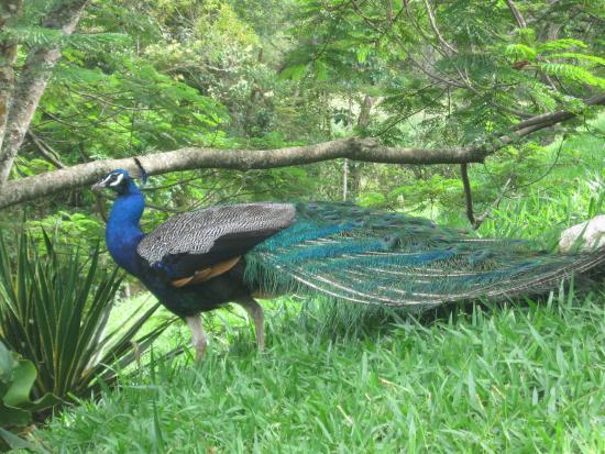 Rio Preto: pavão