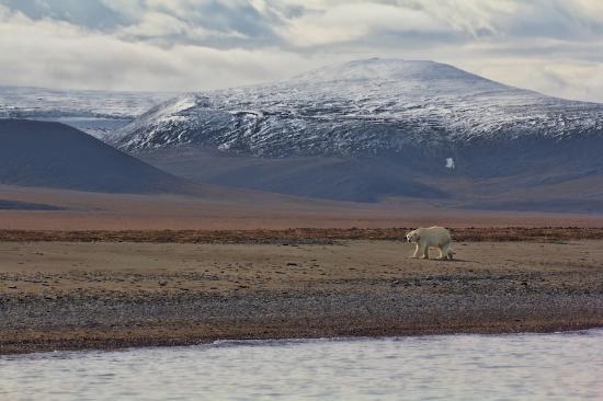 Chukotka Autonomous Region, Russia: Polar bear on Wrangel