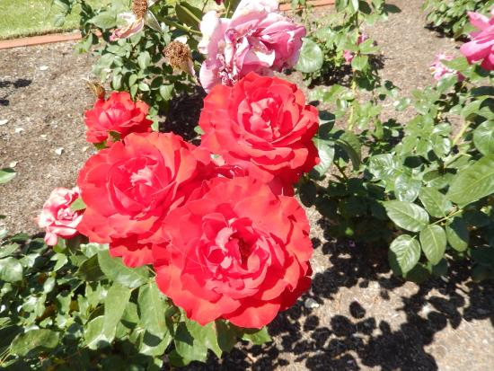 The Chaffey Trail: Just one example from the rose garden at Mildura Station Homestead