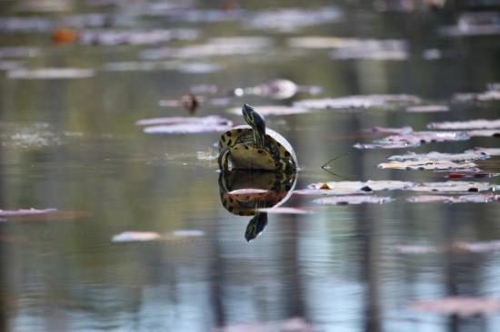 Moncks Corner, Carolina del Sur: черепашка