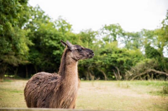 Maynooth, أيرلندا: Llama