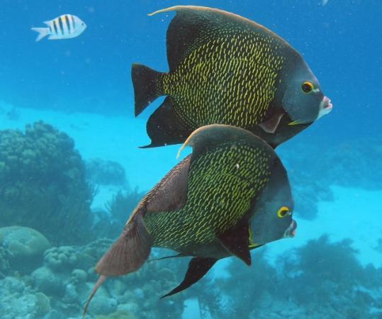 Caribbean Court Bonaire - Breezy Bonaire: French angelfish