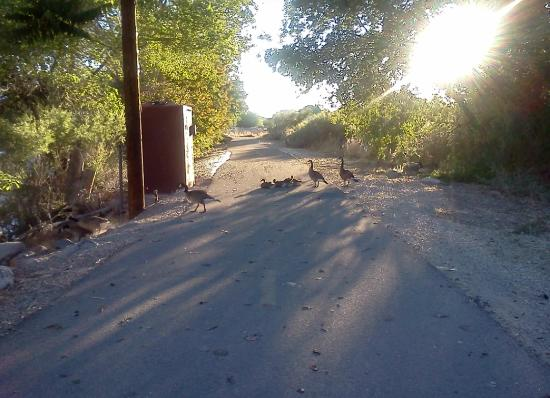Sparks, NV : Ducks along the path