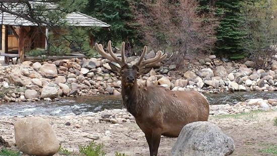 Rockmount Cottages & Cabins: An elk behind Riverside Cabin