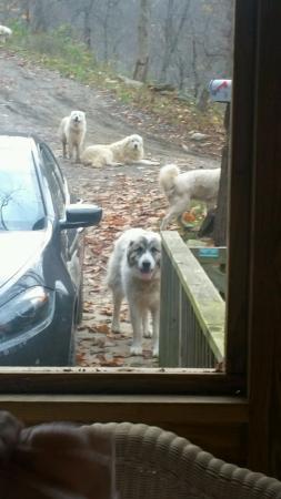 Leicester, Carolina del Norte: The guardian dogs