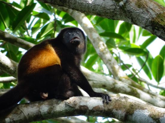 Pavones, Costa Rica: Congo monkey