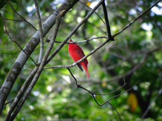 Pavones, Costa Rica: Red bird