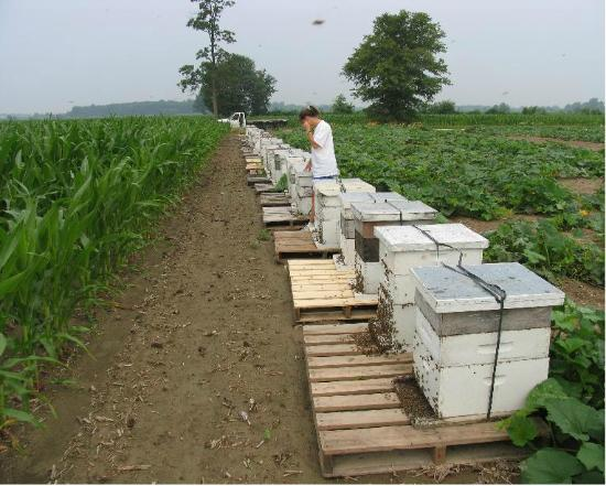 Hunters Honey Farm: Bee yard