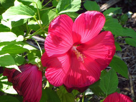 Graveson, Frankrike: Superbe hibiscus