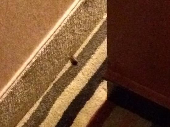 Hilton Knoxville Airport: Bug (I am afraid to say Roach)..found in room