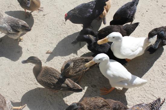 Hawkes Bay Farmyard Zoo: Duck Duck Goose