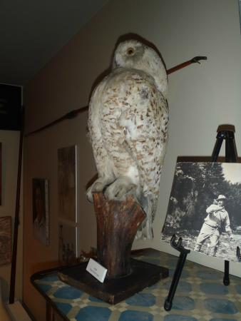 Oquossoc, ME: Rare Snowy Owl mount by Herb Welch