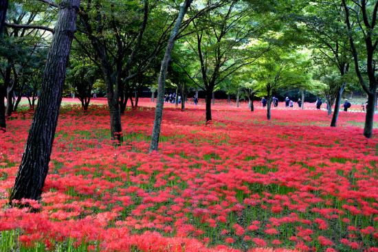 Yeonggwang-gun, Corée du Sud : the red spider lily fields