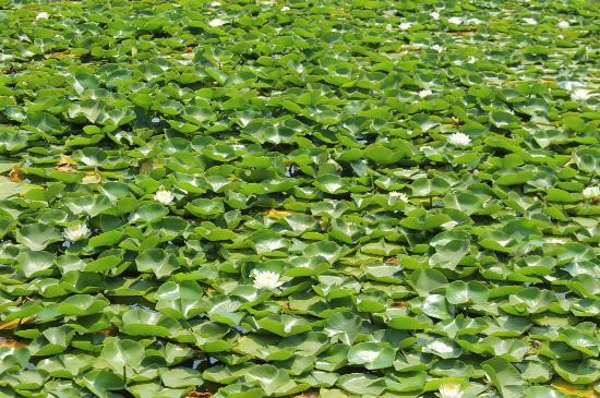 Green Lake Park : plantío de nenufares