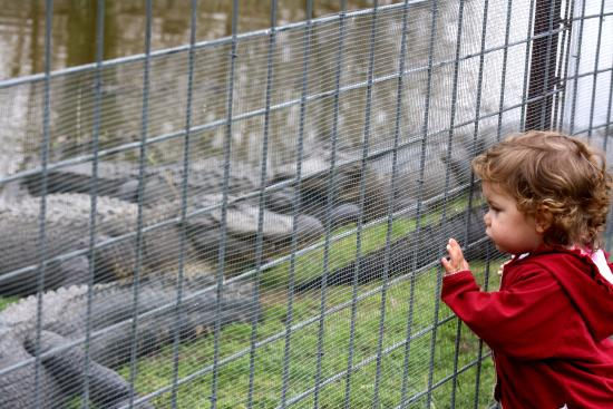 Eating alligator kabobs petting snakes and a chinchilla for Koi pond traduzione