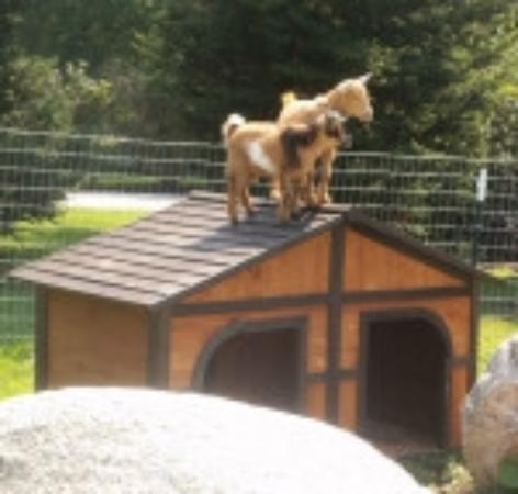 Groton, MA: Peaches and Pipa on the lookout for visitors