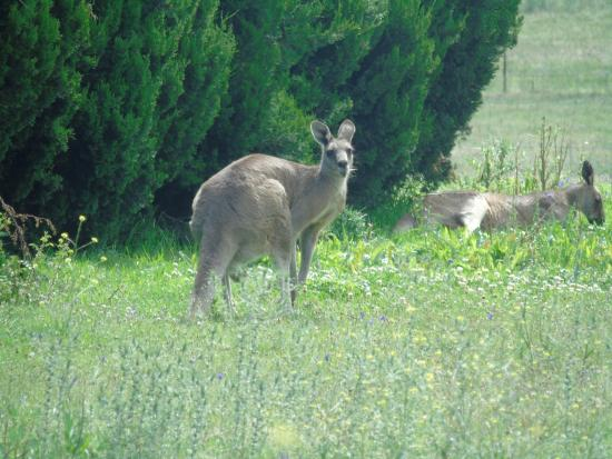 Mudgee Wine & Country Tours: kangaroo
