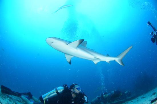 Κόλπος Simpson (Λιμνοθάλασσα), Άγιος Μαρτίνος: Me diving under a 7-foot Caribbean Reef Shark.