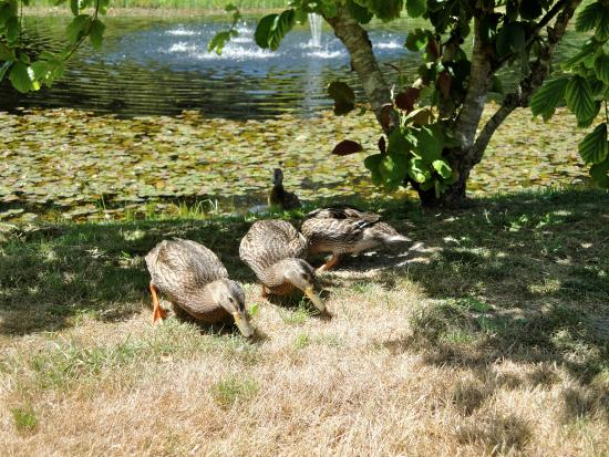 Nelson's Duckpond: the cute ducks