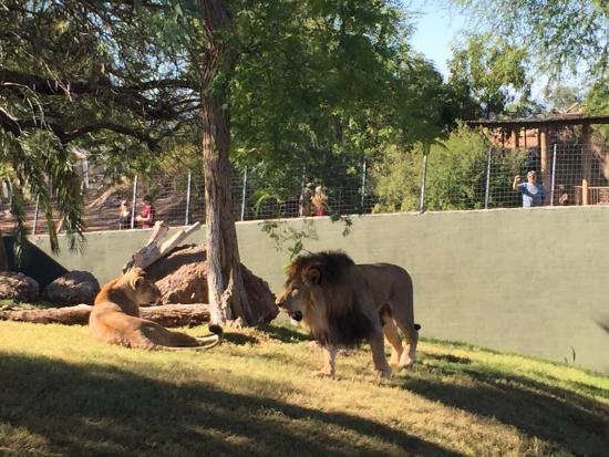 africa lion and lioness picture of phoenix zoo phoenix tripadvisor